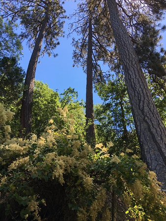 Lithia Park: Tall cedar tress
