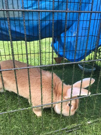 Cashton, WI: Meet Oliver! He is our resident Giant Flemish Rabbit