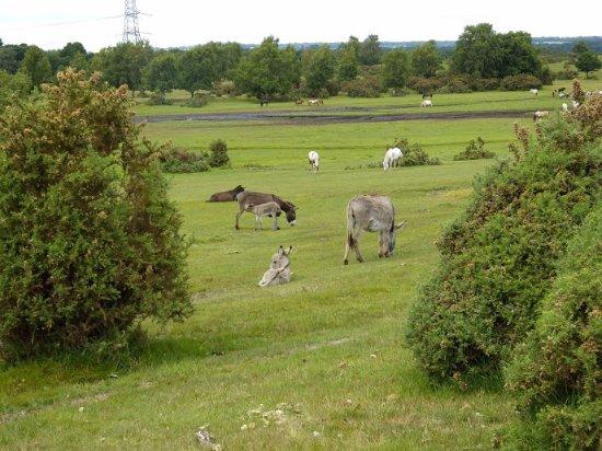 Landford, UK: Campsite backs onto the Common
