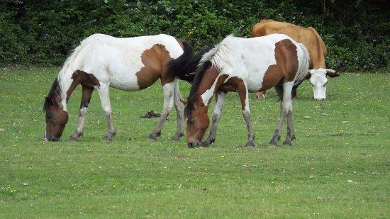 Landford, UK: Wild ponies