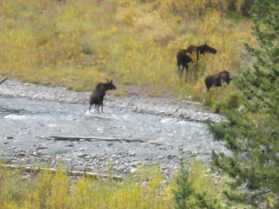 Meeteetse, WY: Moose on river, take a wildlife tour with me, better than Yellowstone