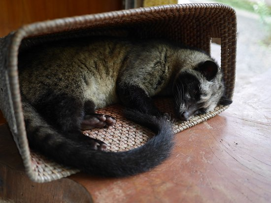 Lodtunduh, Indonesia: Le fameux Luwak!