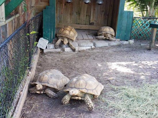 Weston, FL: Tortoises