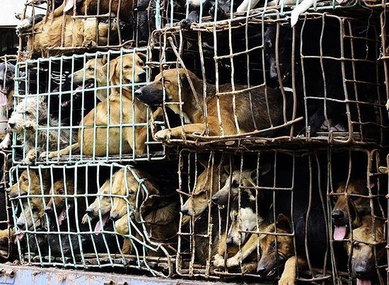 Yulin, China: Great views of dogs being tortured. yumm