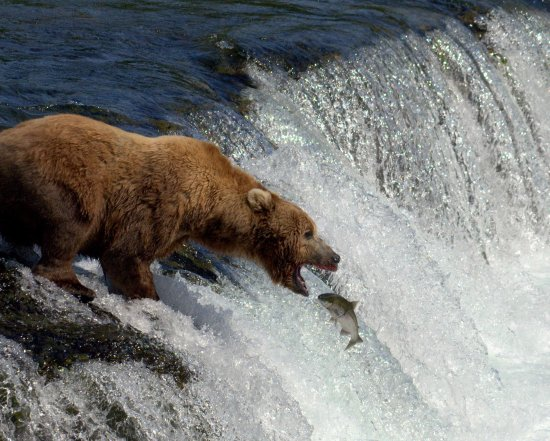 Homer, AK: Bears love Salmon!