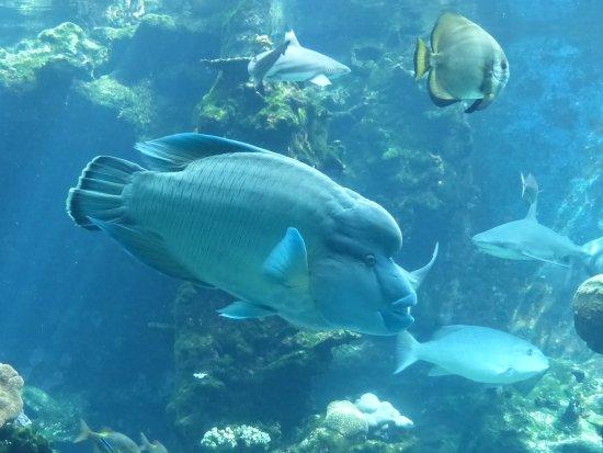 Aquarium des Lagons Nouvelle Caledonie: Napoléon