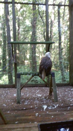 Cypress Grove Nature Park: American Eagle