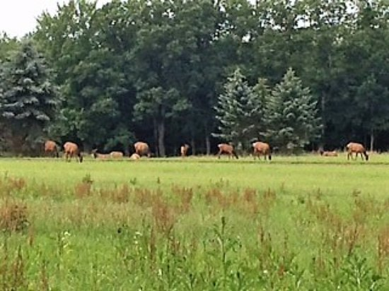 Benezette, เพนซิลเวเนีย: View of elk from the trail at the Elk Country Visitor Center.