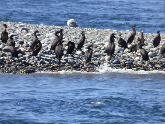 Puget Sound Express - Day Trips: Cormorants and seagulls