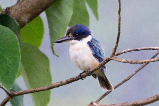 Forest Kingfisher Daintree