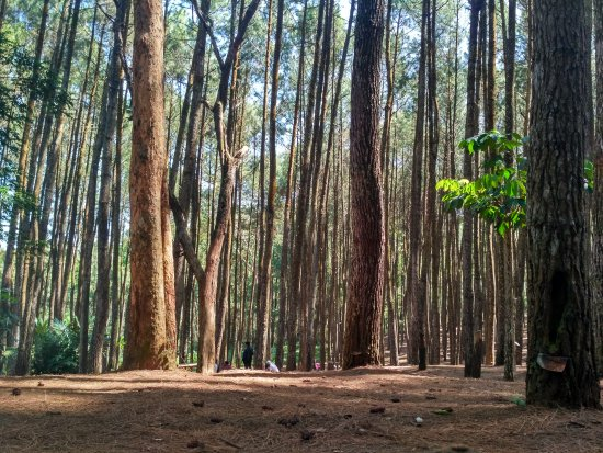 Imogiri Pine Forest