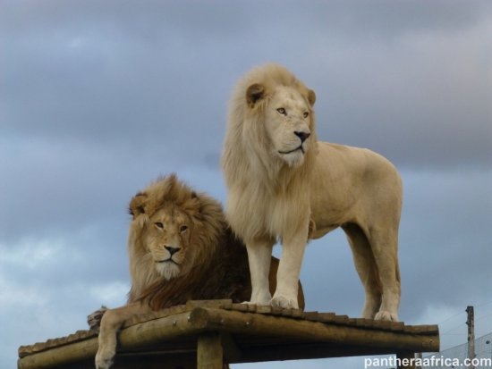Stanford, South Africa: The white lion Oliver and the split lion Obi
