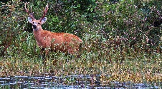 Ibera Wetlands, Argentina: Venado del Pantano
