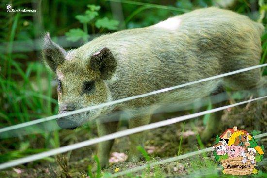 Cochons Laineux cochon laineux - picture of manimopark, montbarla - tripadvisor