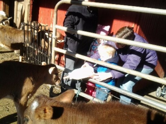 Coopersburg, Pensilvania: children feeding our calves