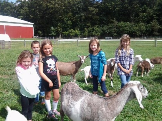 Coopersburg, Pensilvania: kids and goats