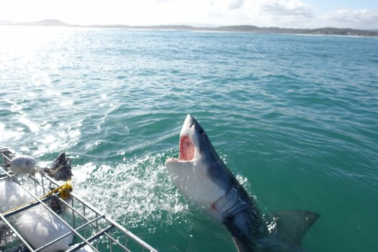 Gansbaai, África do Sul: Sharks doing their thing!