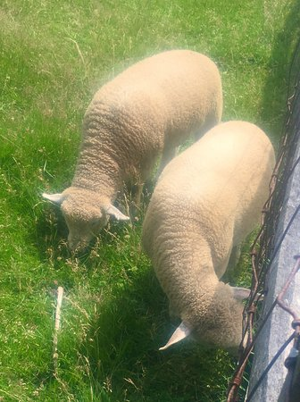 Morristown, Nueva Jersey: Some of the sheep on the farm !