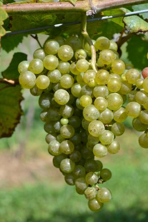 Linville Falls Winery: Come try our Estate Grown Riesling. Amazing semi dry finish with bright acidity.