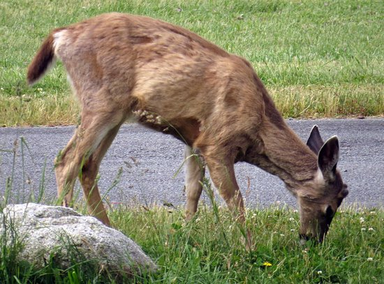 Coupeville, WA: Fort Casey State Park Deer