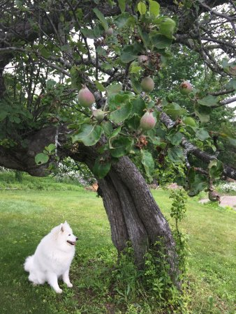 Lincolnville, ME: Maya is waiting out back by the apple trees for early apples to be ready for picking. spouterinn