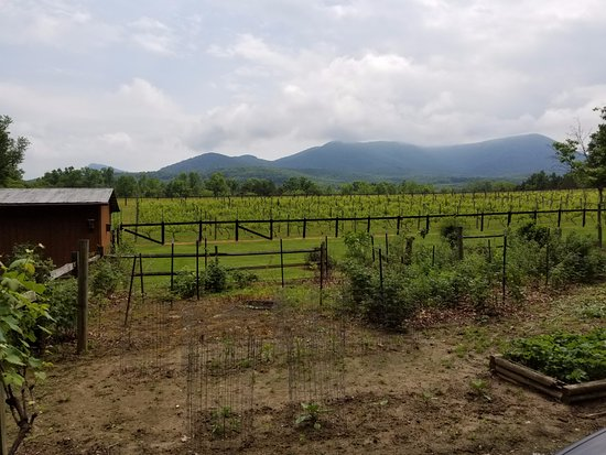 Strasburg, VA: Vineyard with Mountains in back