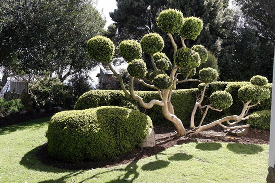 St Marys, Australia: Well photographed cloud pruned English Box - planted 1888.
