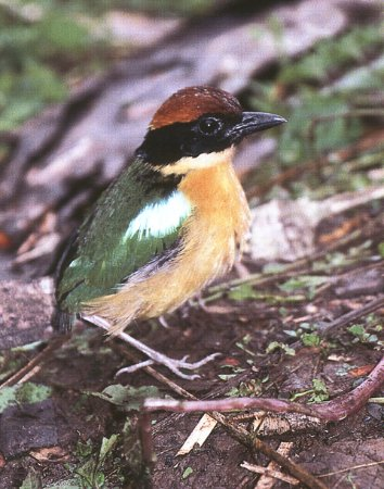 The Black-faced Pitta Bird – Photo taken in the Solomon Islands