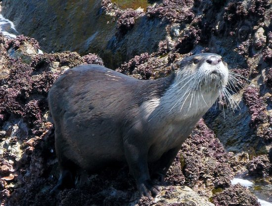 Bishop's Cove: Cape Clawless otter