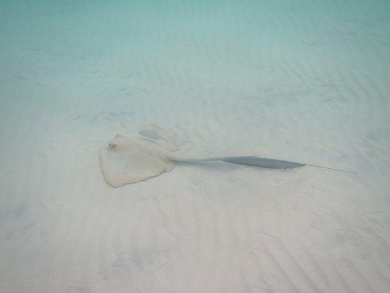 Pulau Praslin, Seychelles: raie