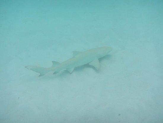 Pulau Praslin, Seychelles: requin
