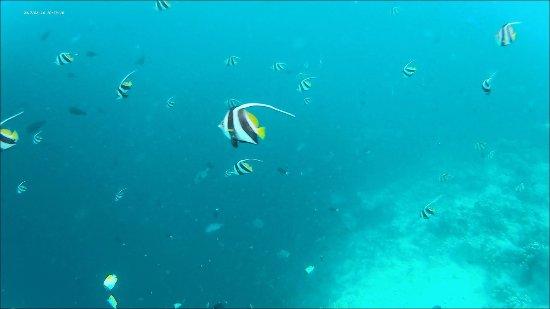Semporna, Μαλαισία: Beautiful Moorish Idol fish