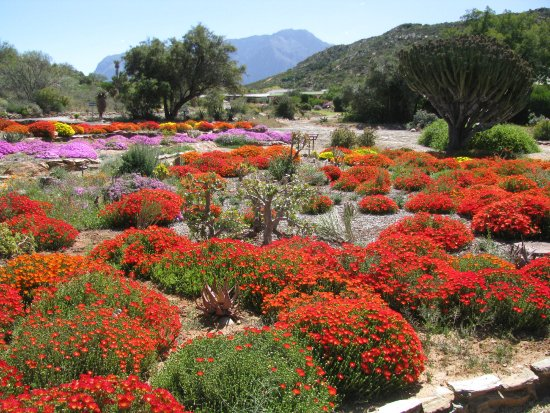 Worcester, Νότια Αφρική: vygies flowering !