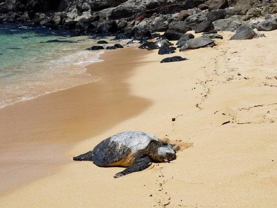 Paia, Hawái: Turtle Chillin on the Beach