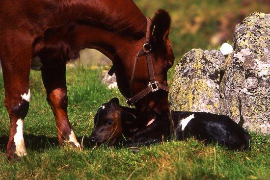 Tinn Municipality, Noruega: En ny kalv er født.
