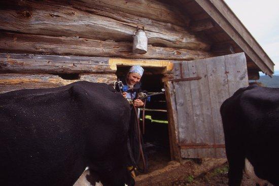 Tinn Municipality, Noruega: Budeia har vært i fjøset og melket.