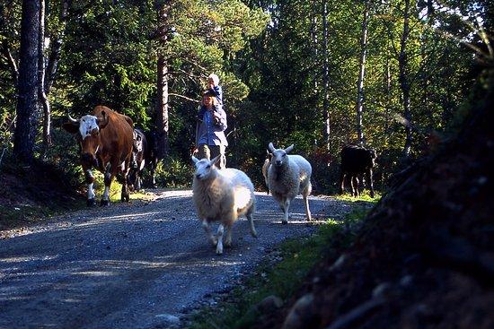 Tinn Municipality, Noruega: Ut for å finne mat til dyrene.