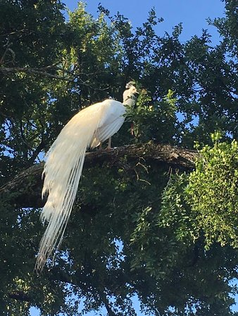 Whitney, TX: White peacock! So pretty! He also followed me on a walk.