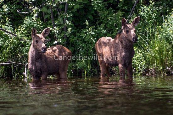 Weston, ME: Calf moose