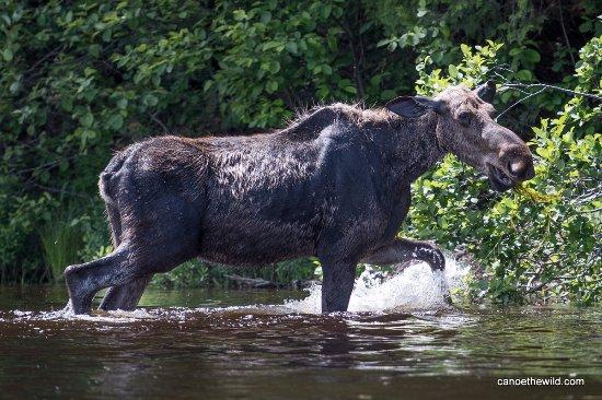 Weston, ME: Cow Moose
