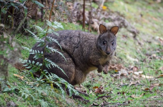 Huonville, Australien: Native animals roam the grounds without cages