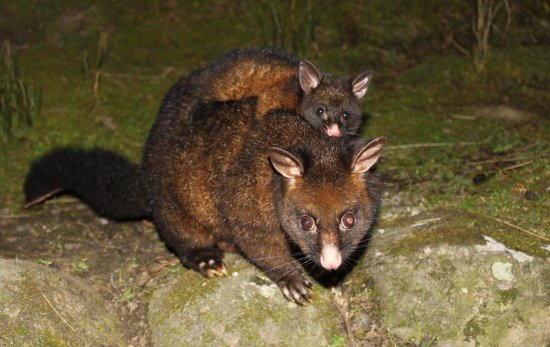 Huonville, Australien: Native animals roaming wild include possums