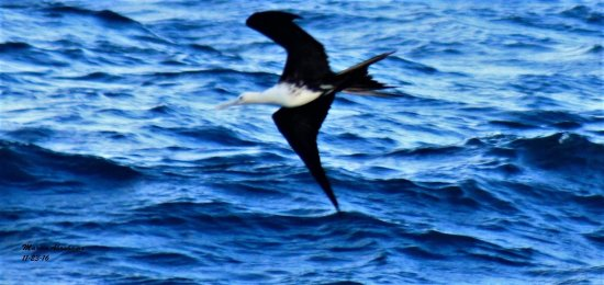Magnificient frigatebird - Lake Worth Pier November 2016