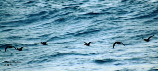 Surf scoter ducks during fall migration at Lake Worth Pier - November 2016