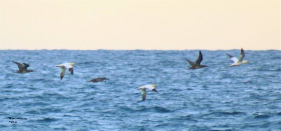 Northern gannets during fall migration at Lake Worth Pier - November 2016
