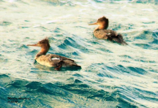 Red-breasted mergansers at Lake Worth Pier during fall migration - November 2016