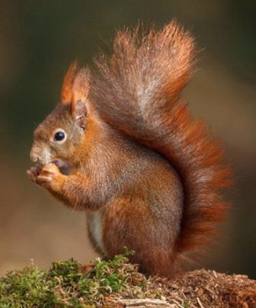 Appleby Castle: Red Squirrels in the grounds