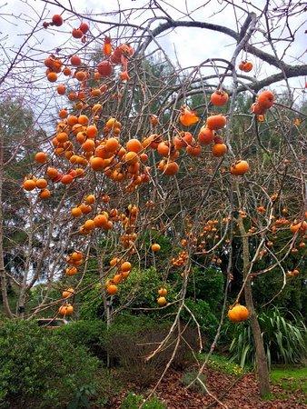 Warkworth, Nuova Zelanda: Beautiful persimmon trees in the front garden!