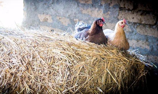 Semproniano, Italia: I nostri animali da cortile