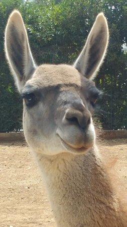 lama - Picture of Zoo Safari, ...